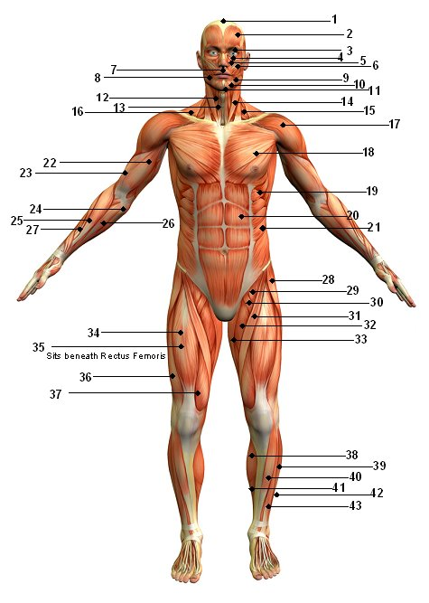 The Human Muscular System Front