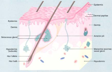 Skin appendages