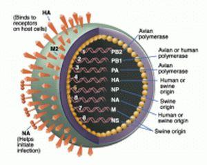 Swine Flu fever